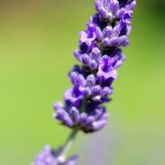 Gorgeous Lavender Purple flower and blurry background