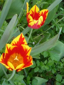 2 tulipes