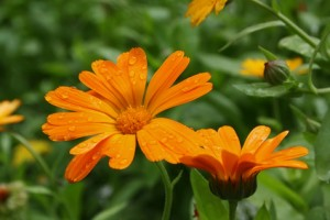 Blossoming calendula with water drops