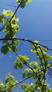 vigne 2 petites branches