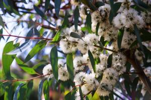 Closeup of soap mallee (Eucalyptus diversifolia) plant