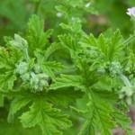 géranium rosat, plante pour huiles essentielles