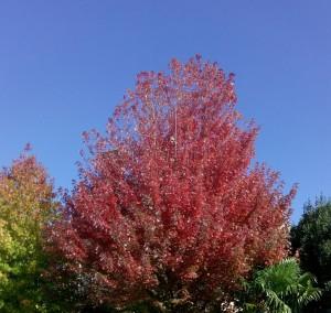 arbre d'automne rouge