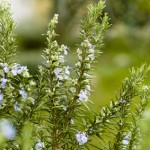 Rosemary in flowering (Rosmarinus officinalis)